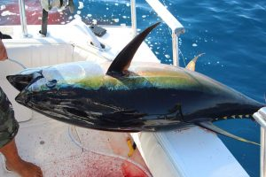 pv cow tuna fishing